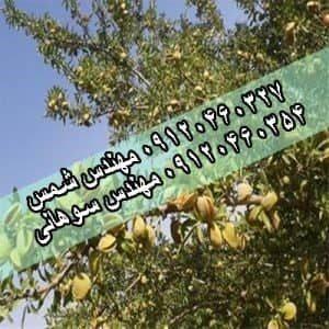 نهال بادام اصلاح شده|بادام اصلاح شده ۰۹۱۲۰۴۶۰۳۲۷ مهندس شمس